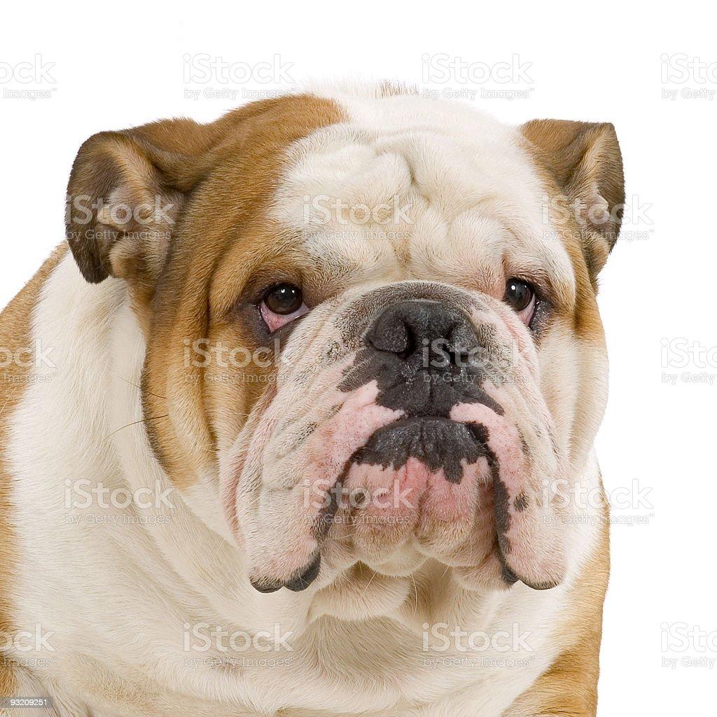 english Bulldog royalty-free stock photo