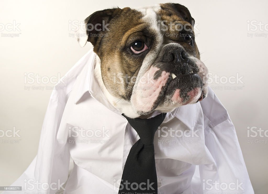 English Bulldog Portrait In Business Attire royalty-free stock photo