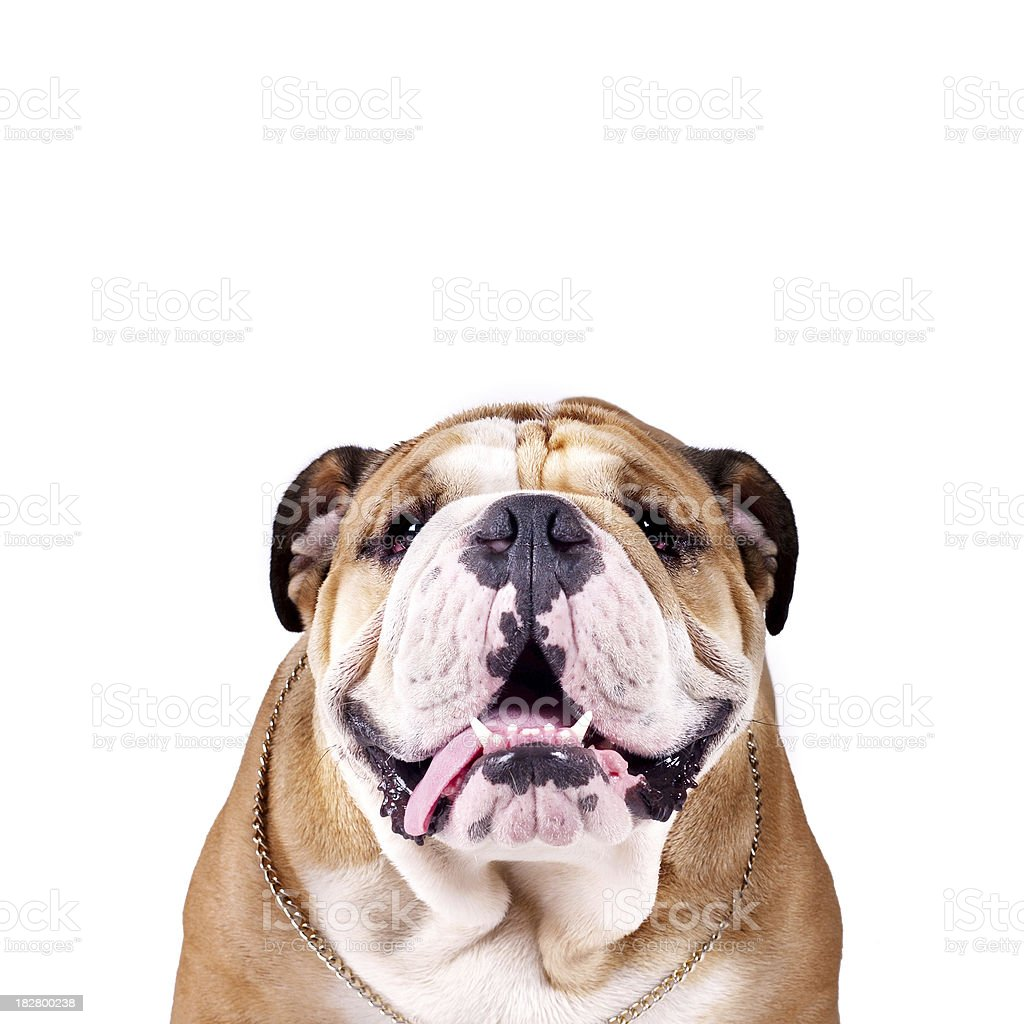 English Bulldog Prince stock photo
