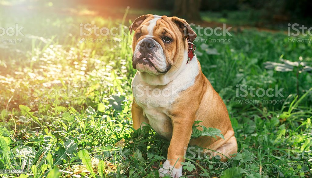English bulldog pup in the grass stock photo
