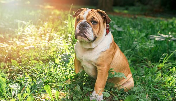 English bulldog pup in the grass stock photo