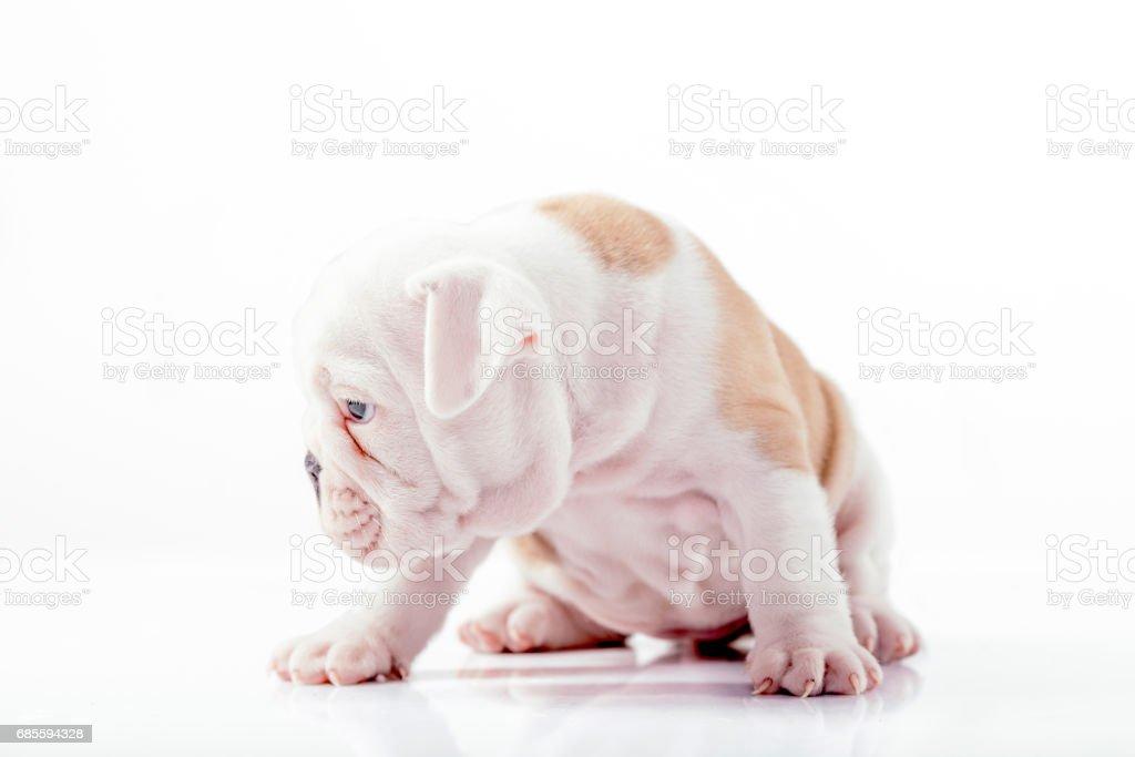 英國鬥牛犬幼犬 免版稅 stock photo