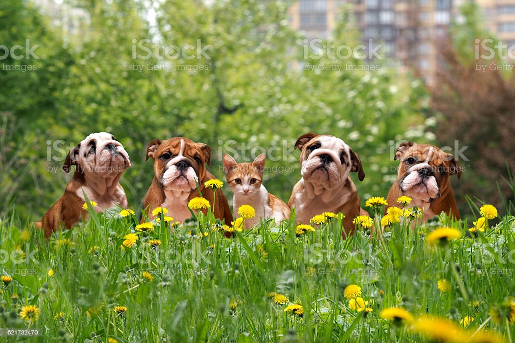 English Bulldog Puppies in a city park стоковое фото