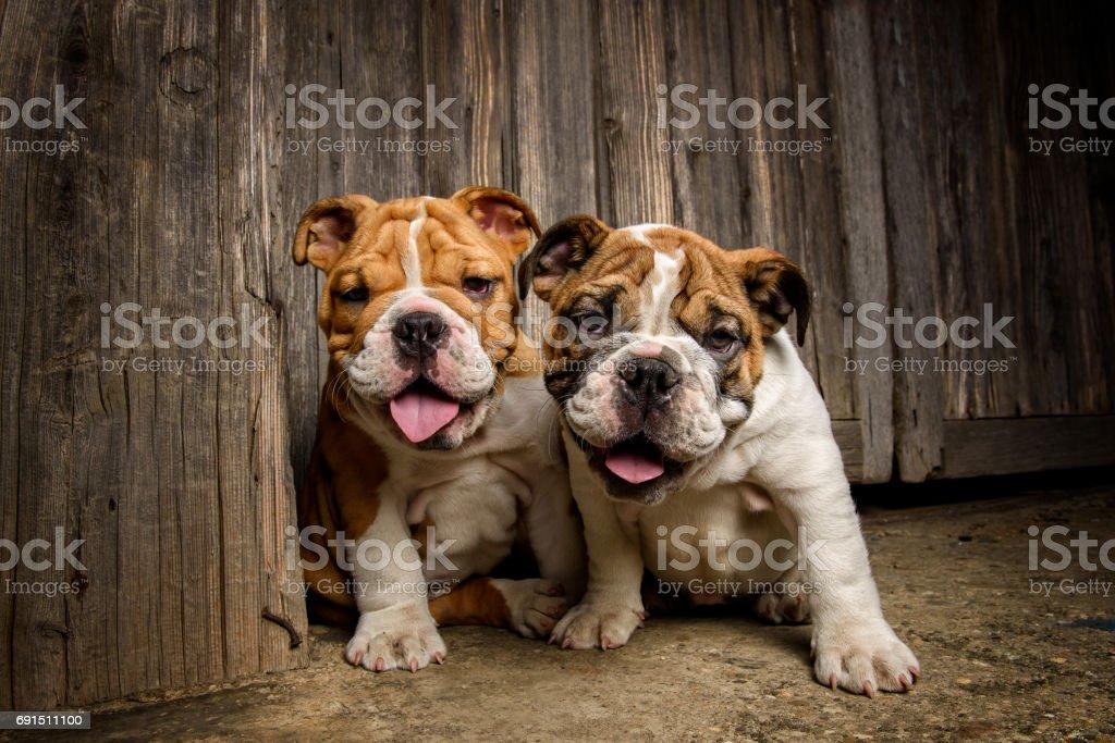 English Bulldog Puppies Stock Photo Download Image Now Istock