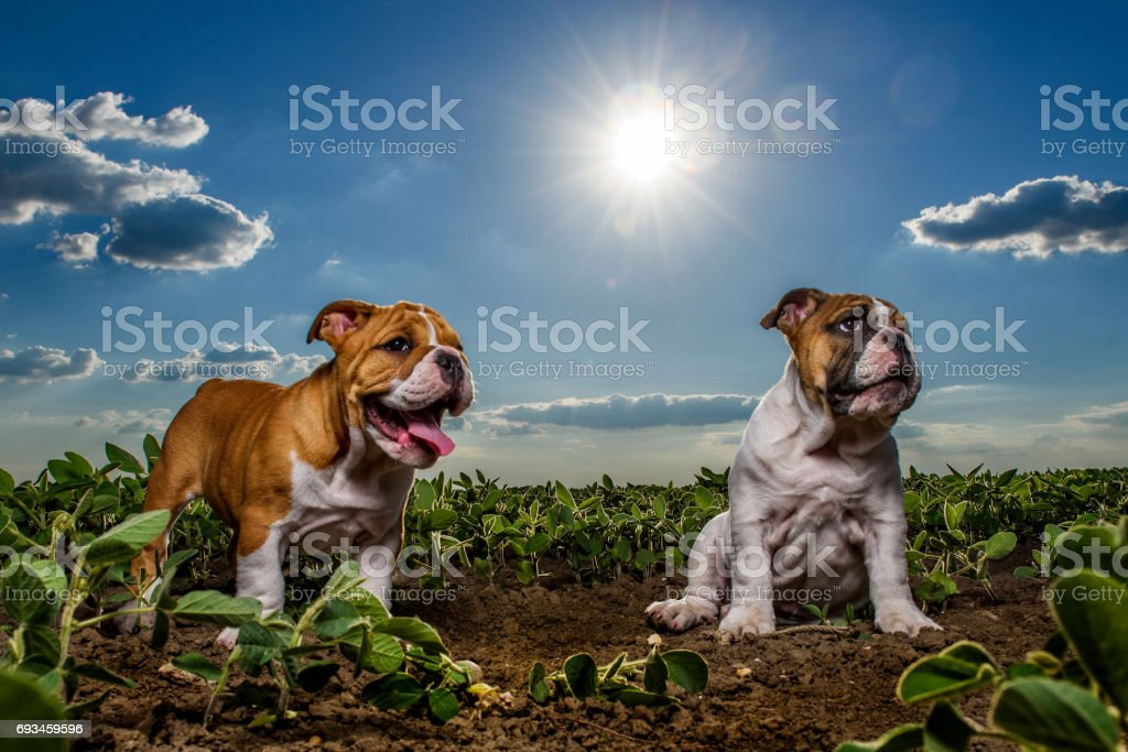 English bulldog puppies stock photo