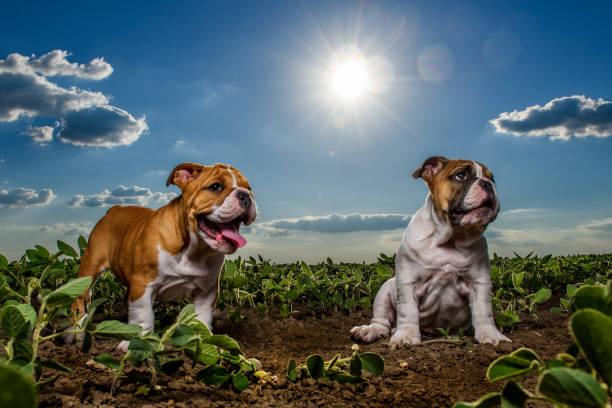 English bulldog puppies stock photo