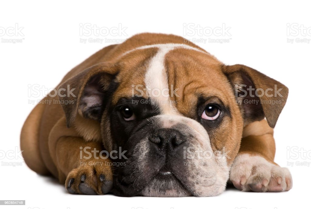 Foto De Bulldog Inglês Filhote De Cachorro 4 Meses De Idade Mentir