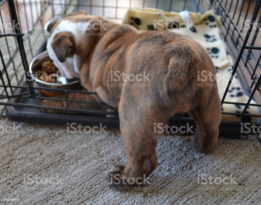 English Bulldog puppy eats in his crate royalty-free stock photo