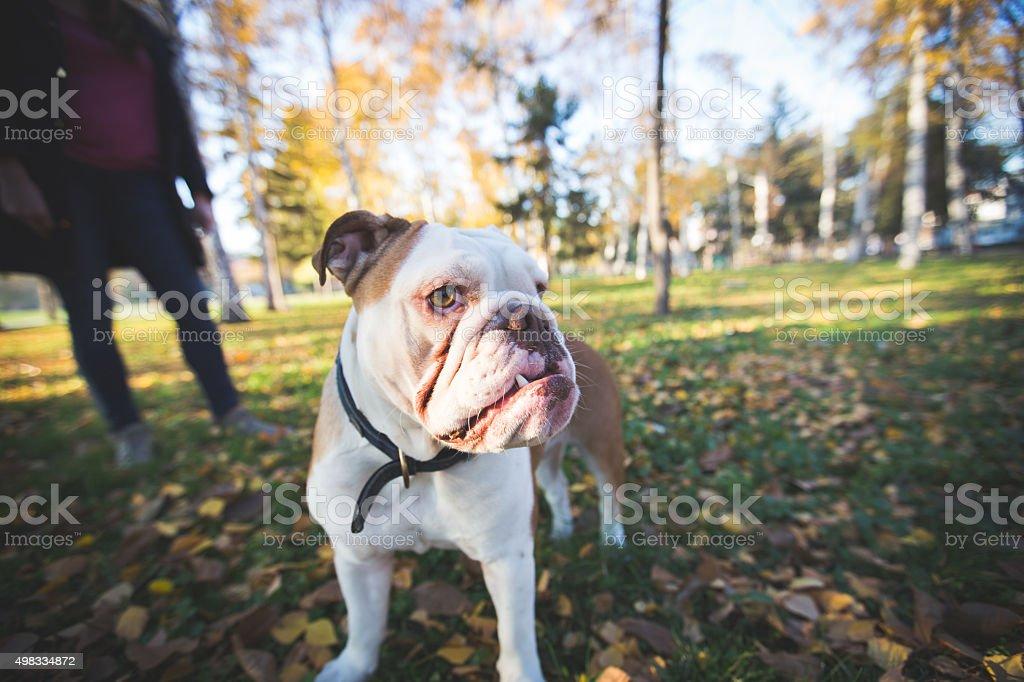 Bulldog at the park looking at camera