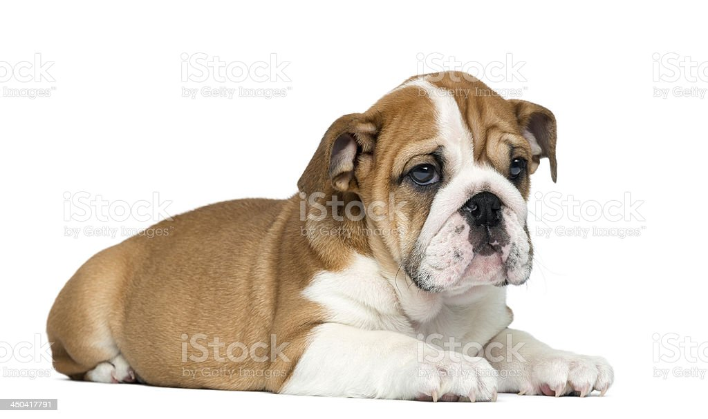 English Bulldog Puppy Lying 2 Months Old Isolated On White Stock Photo Download Image Now Istock