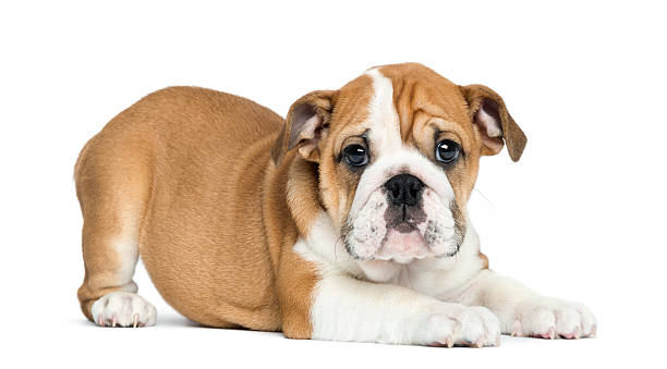 English Bulldog Puppy lying and facing, 2 months old, isolated English Bulldog Puppy lying and facing, 2 months old, isolated on white bulldog stock pictures, royalty-free photos & images