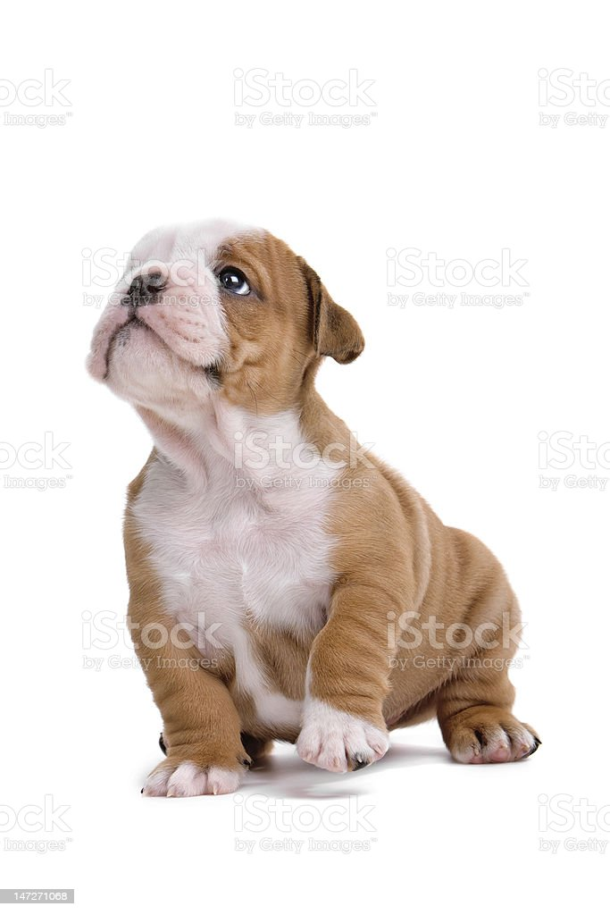 English bulldog puppy royalty-free stock photo