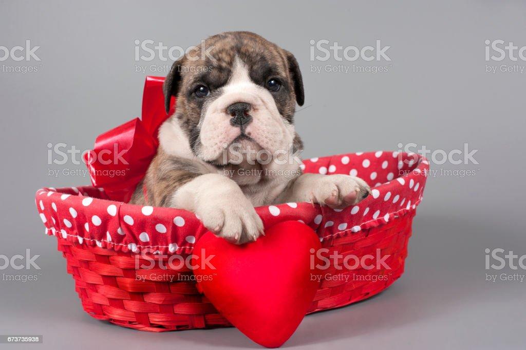 English bulldog puppy photo libre de droits