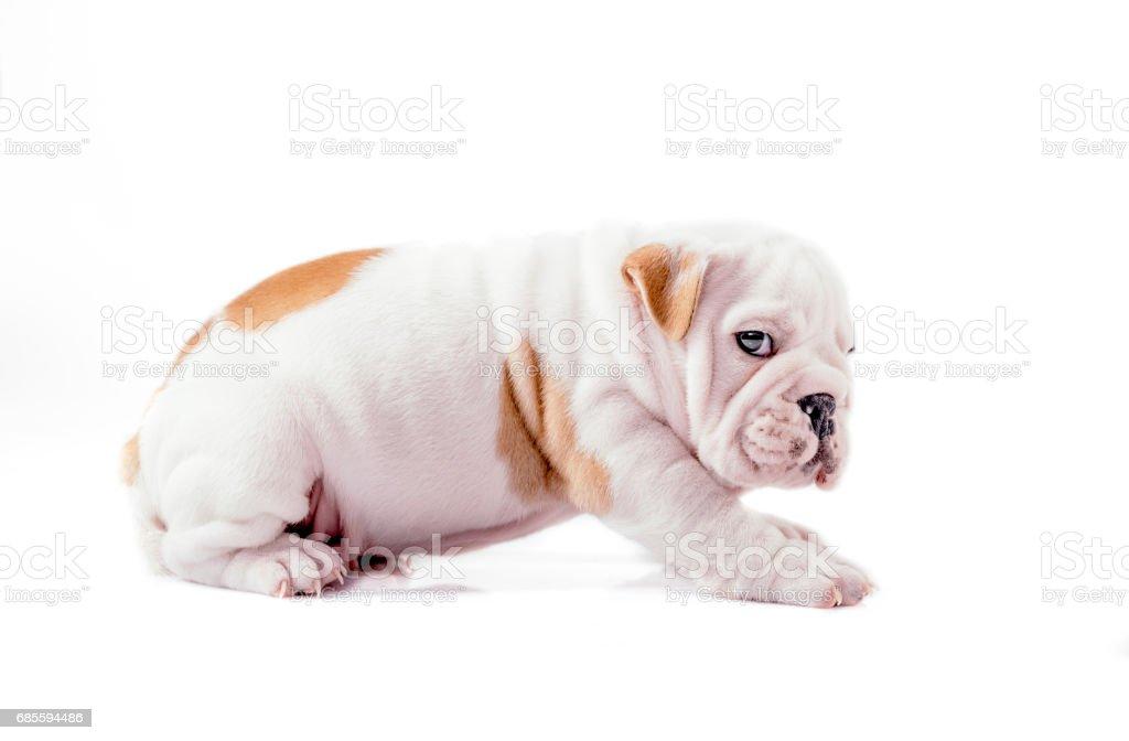 英國鬥牛犬小狗 免版稅 stock photo
