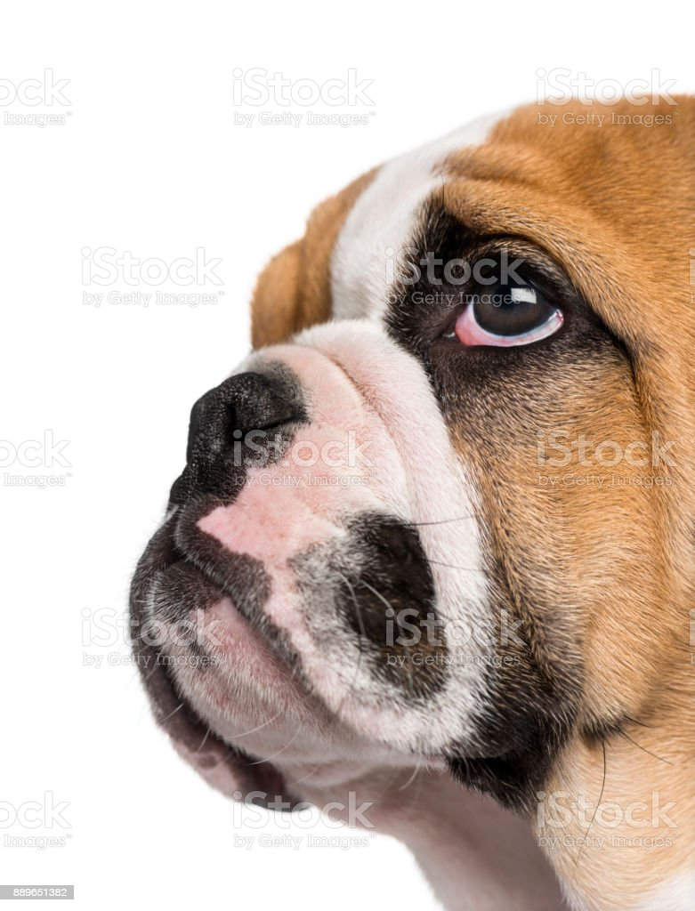 English Bulldog puppy (3 months old) stock photo