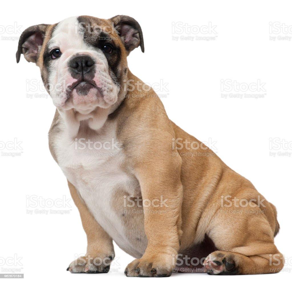 English Bulldog Puppy Stock Photo Download Image Now Istock