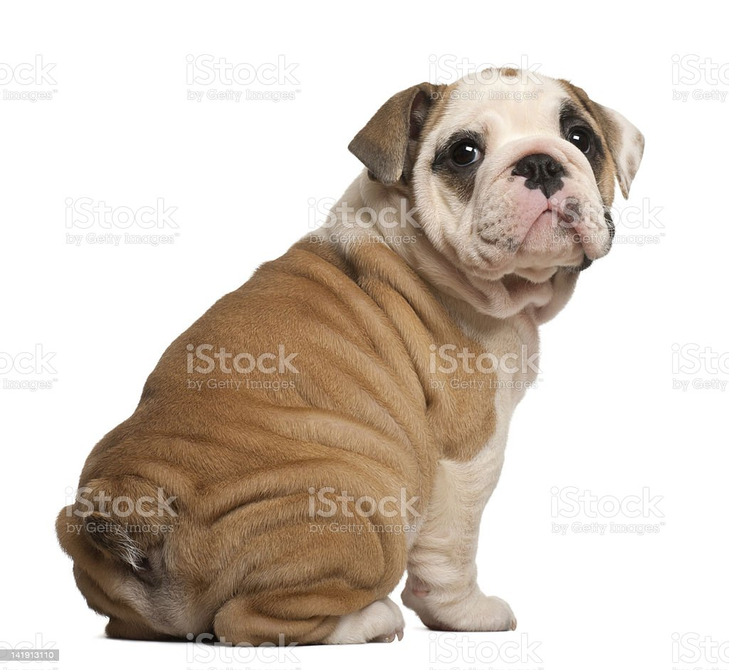 English Bulldog Puppy Sitting Looking Back 2 Months Old Stock Photo Download Image Now Istock