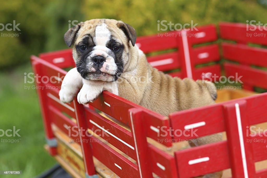 Carrozza Letto In Inglese : Inglese bulldog cucciolo in piedi e passeggiate in una carrozza