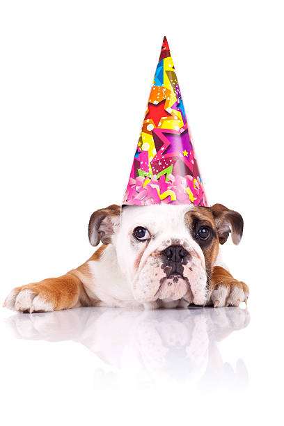 English bulldog puppy wearing a birthday hat picture id115691093?b=1&k=6&m=115691093&s=612x612&w=0&h=bzkq188yu 4q4tepoqpx2bpft19ttfc3uoz7f516log=