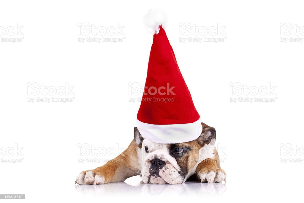 english bulldog puppy wearing a christmas hat royalty-free stock photo