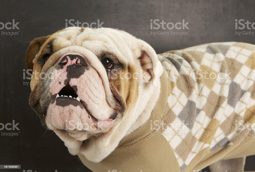 Foto De Bulldog Inglês Usar Um Suéter De Diamante No Fundo Cinza