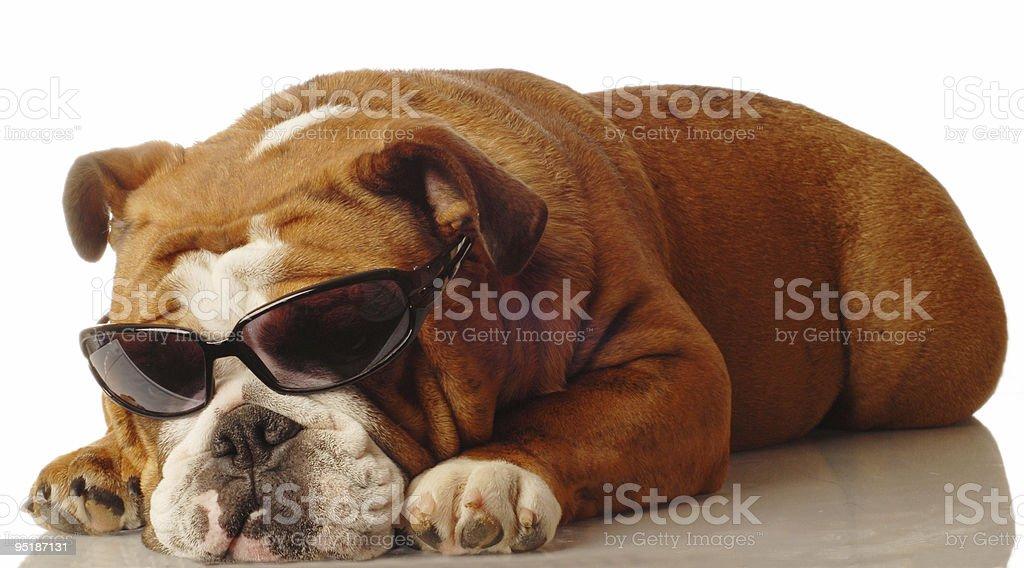 english bulldog wearing cool sunglasses stock photo