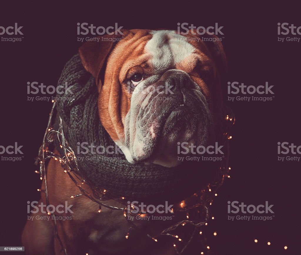 English bulldog with Christmas lights stock photo