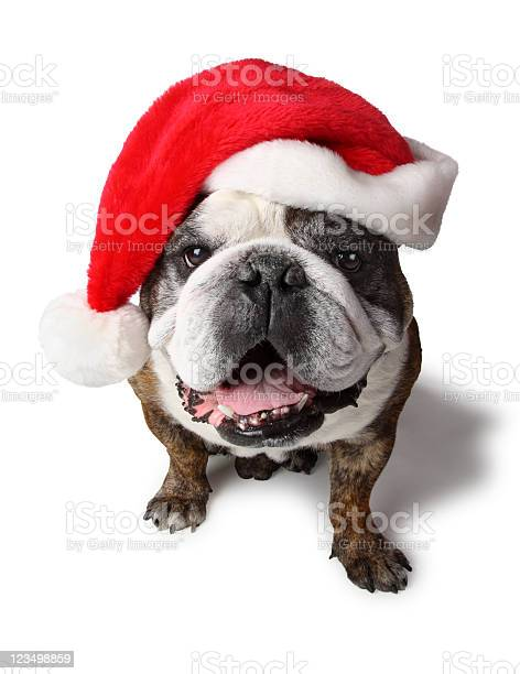 English bulldog with santa clause hat picture id123498859?b=1&k=6&m=123498859&s=612x612&h=dpe5f2po  utr7ujhlbfyqw8k1k8ifpf2qri8o23zma=