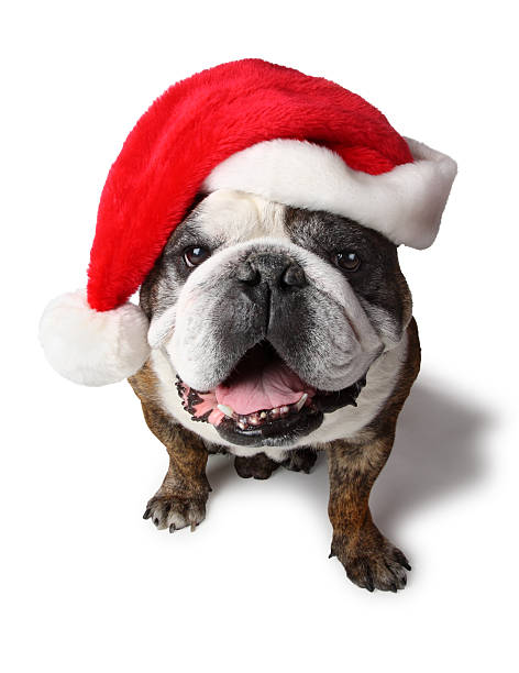 English bulldog with santa clause hat picture id123498859?b=1&k=6&m=123498859&s=612x612&w=0&h=i0uavdq4t t2u13qmjdiyxr6fbgapwfvmfgcj qdtwc=