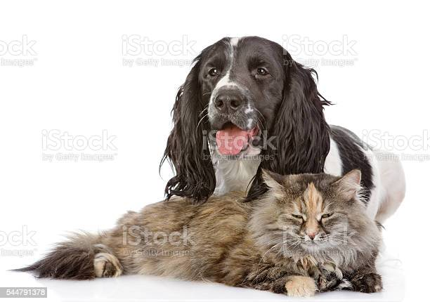 English cocker spaniel dog and cat isolated on white background picture id544791378?b=1&k=6&m=544791378&s=612x612&h=eppij1u7hfx mq 3z3u0bci0zun5tb7jfkbdigkqzv8=