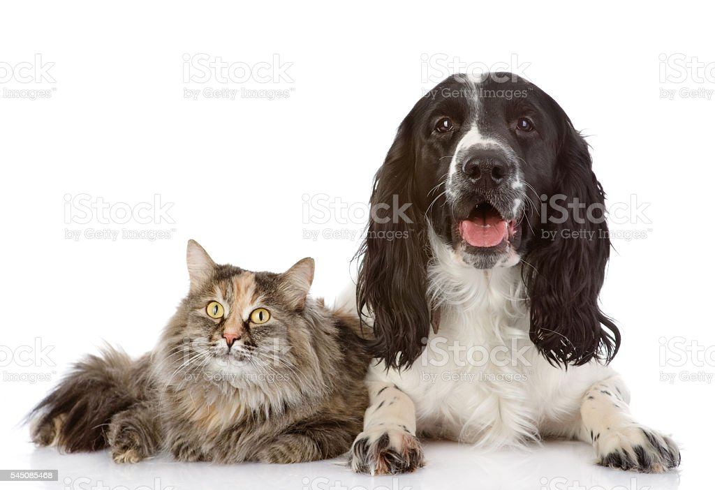 English Cocker Spaniel dog and cat lie together. stock photo