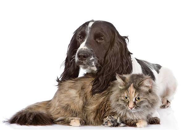 English cocker spaniel dog and cat looking away isolated picture id518432744?b=1&k=6&m=518432744&s=612x612&w=0&h=ld0yhwws4wzj7 xhof0v9m0cecvfgju276cqea8yu2c=
