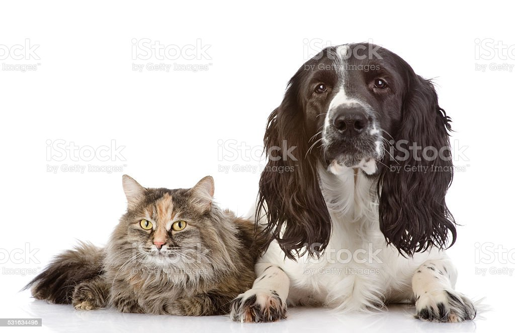 English Cocker Spaniel dog and cat together stock photo