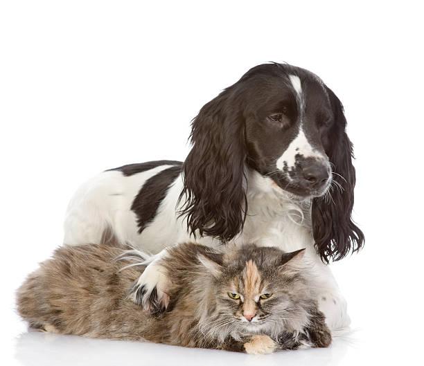 English cocker spaniel dog embraces a cat picture id517382118?b=1&k=6&m=517382118&s=612x612&w=0&h=r3ijcyoioy0vyh4gtafre9iyji avgcvvtycfs0krie=