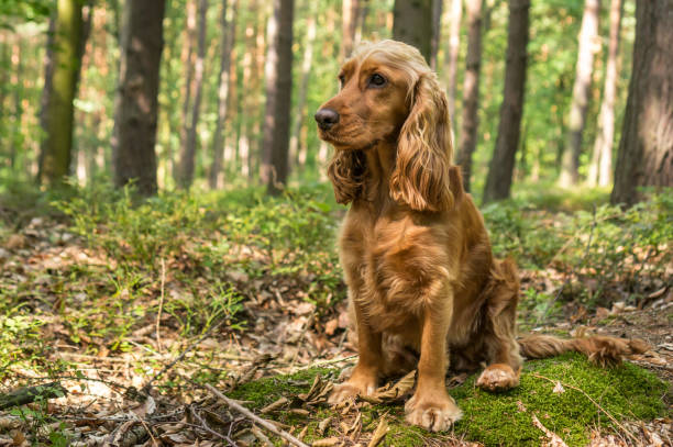 English Cocker Spaniel dog in the forest stock photo