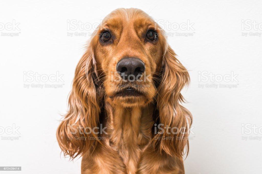 English cocker spaniel dog isolated on white stock photo