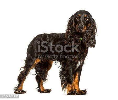 English Cocker Spaniel dog standing against white background