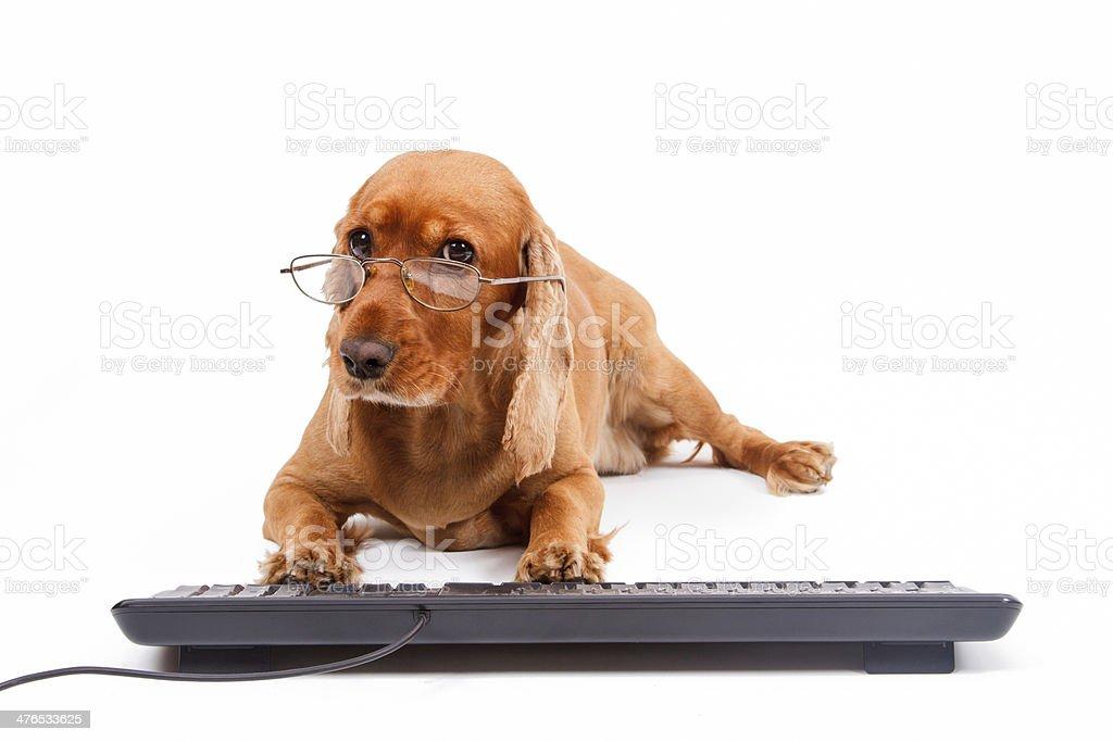 English Cocker Spaniel Dog Typing Keyboard royalty-free stock photo