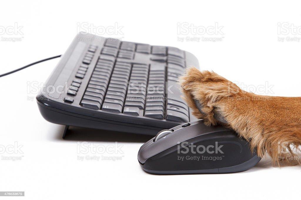 English Cocker Spaniel Dog Using Mouse and Keyboard royalty-free stock photo