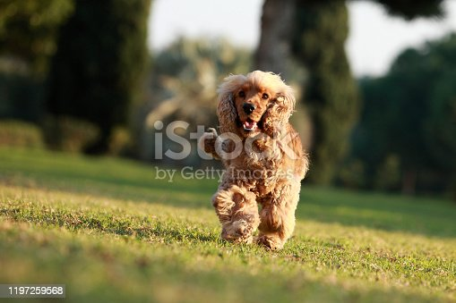 English Cocker Spaniel playing in the park at sunset