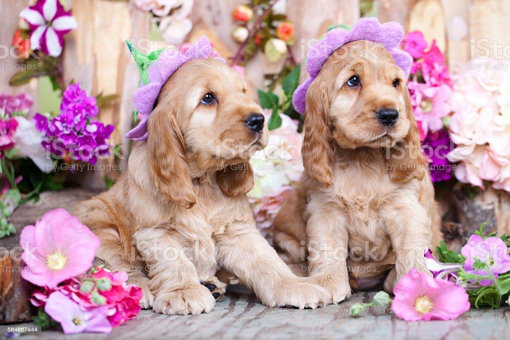 English Cocker Spaniel Puppies Stock Photo Download Image Now Istock