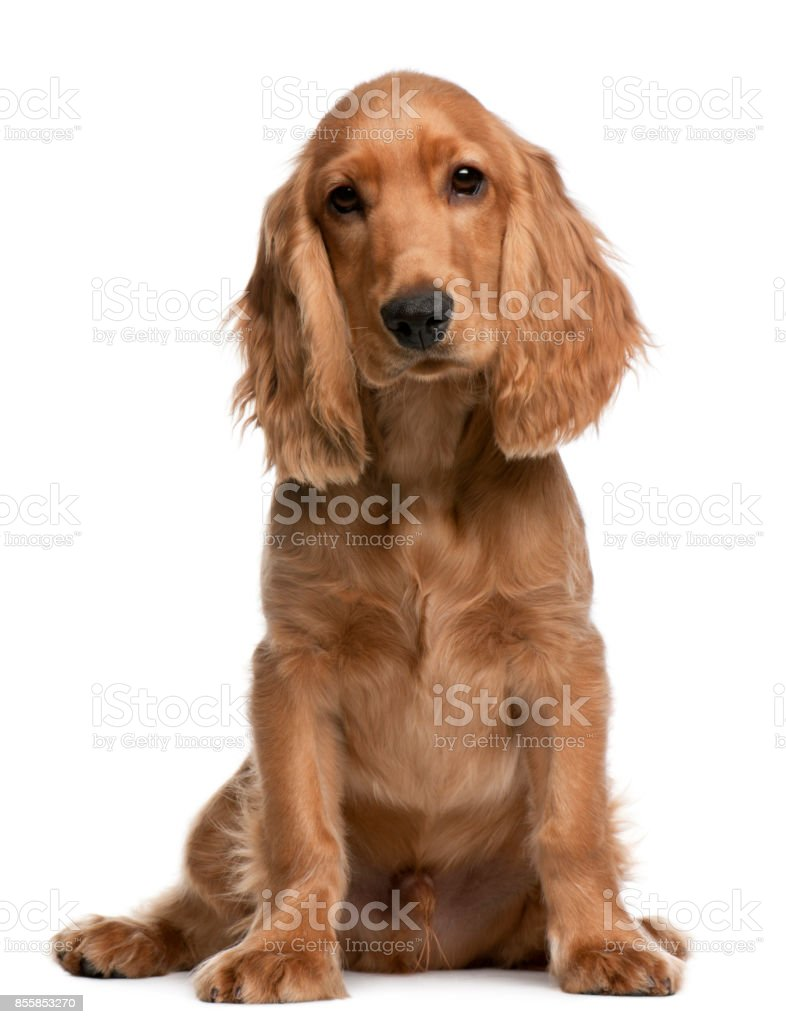English Cocker Spaniel Puppy 5 Months Old Sitting In Front Of White Background Stock Photo Download Image Now Istock