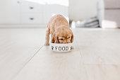 English cocker spaniel puppy eating dog food from ceramic bowl