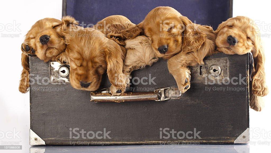 English cocker spaniel  puppy royalty-free stock photo