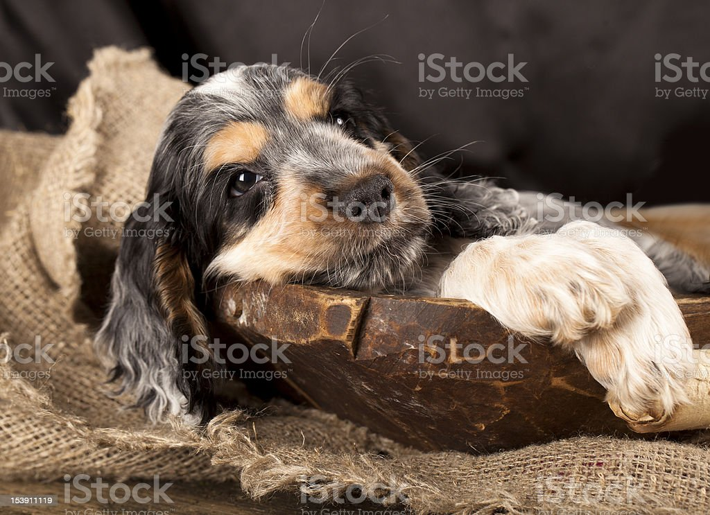 English Cocker Spaniel Puppy Stock Photo Download Image Now Istock