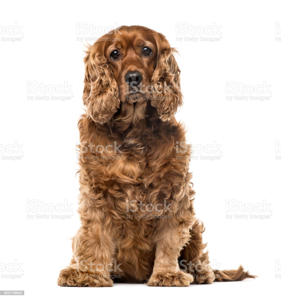 English Cocker Spaniel sitting, 6 years old , isolated on white stock photo