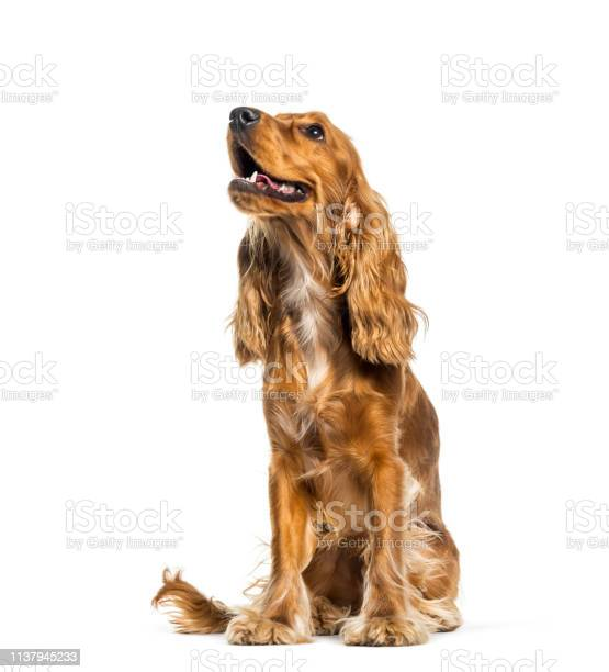 English cocker spaniel sitting in front of white background picture id1137945233?b=1&k=6&m=1137945233&s=612x612&h=rqtapzj17y4uldeazeonjxcnt2att4jsbmdllgams3g=