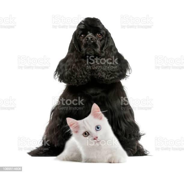 English cocker spaniel sitting white kitten in front of white picture id1069514606?b=1&k=6&m=1069514606&s=612x612&h=araymon4f9h1etb6pgiq32olot3vjk6rh4jd1l e8eu=