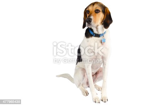 Portrait of an English Coonhound isolated against a white background.