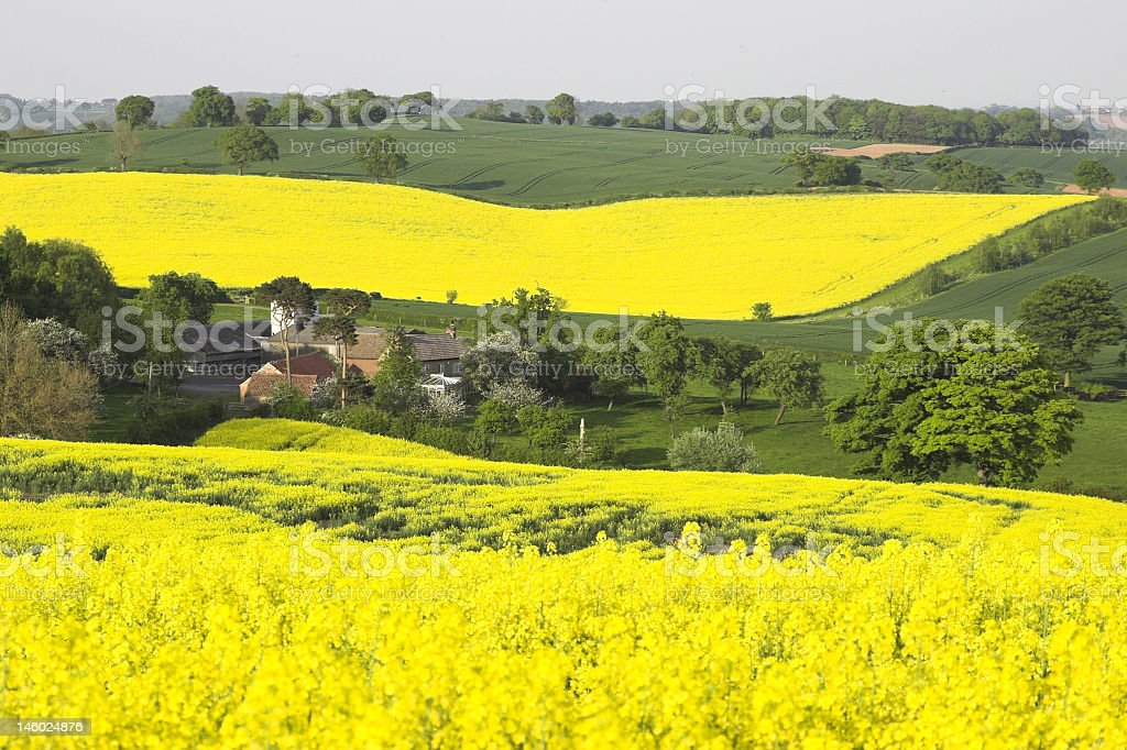 English countryside covered in yellow flowers stock photo
